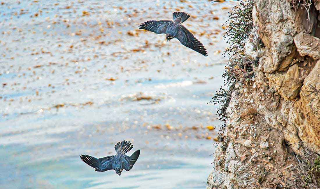 Peregrine falcon in Portugal
