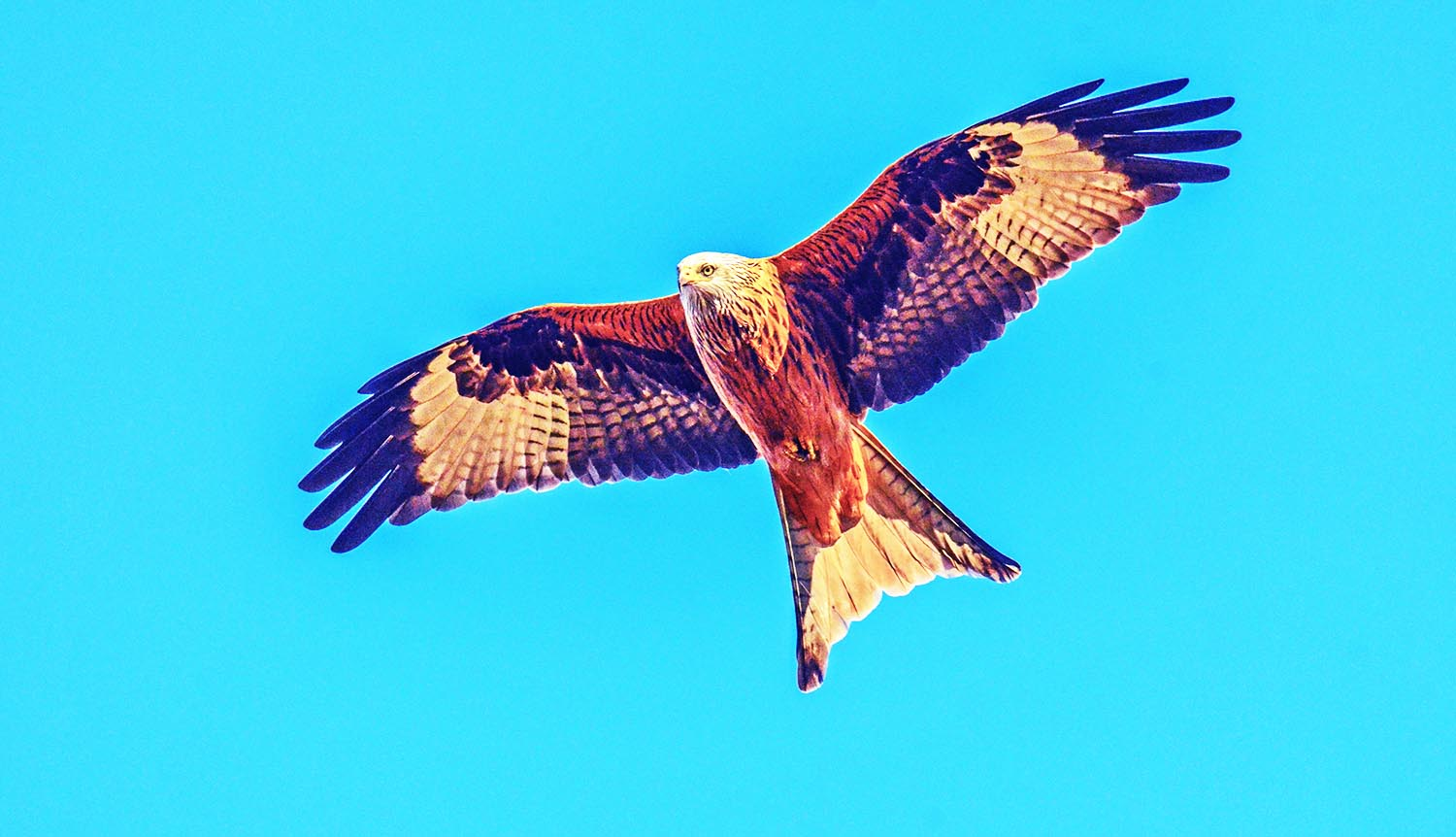Red Kite Portugal