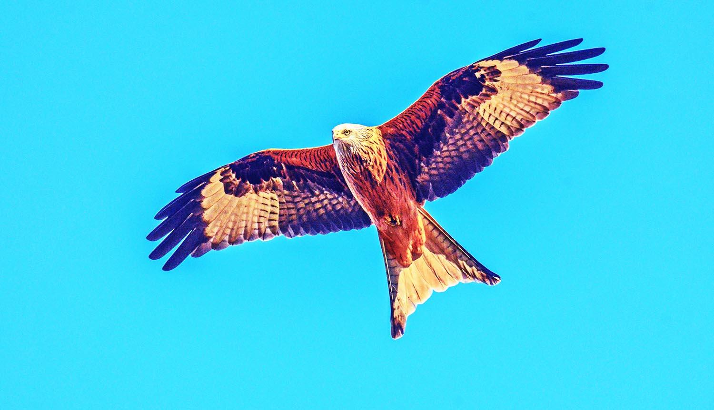 Red Kite Portugal