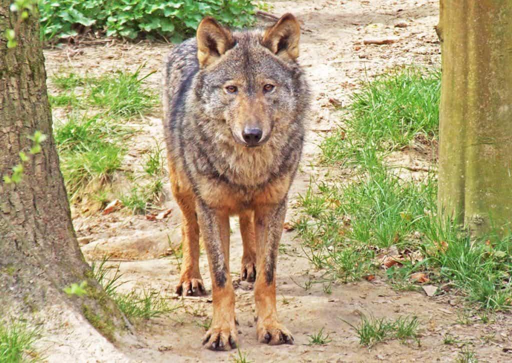 Iberian Wolf - Portugal