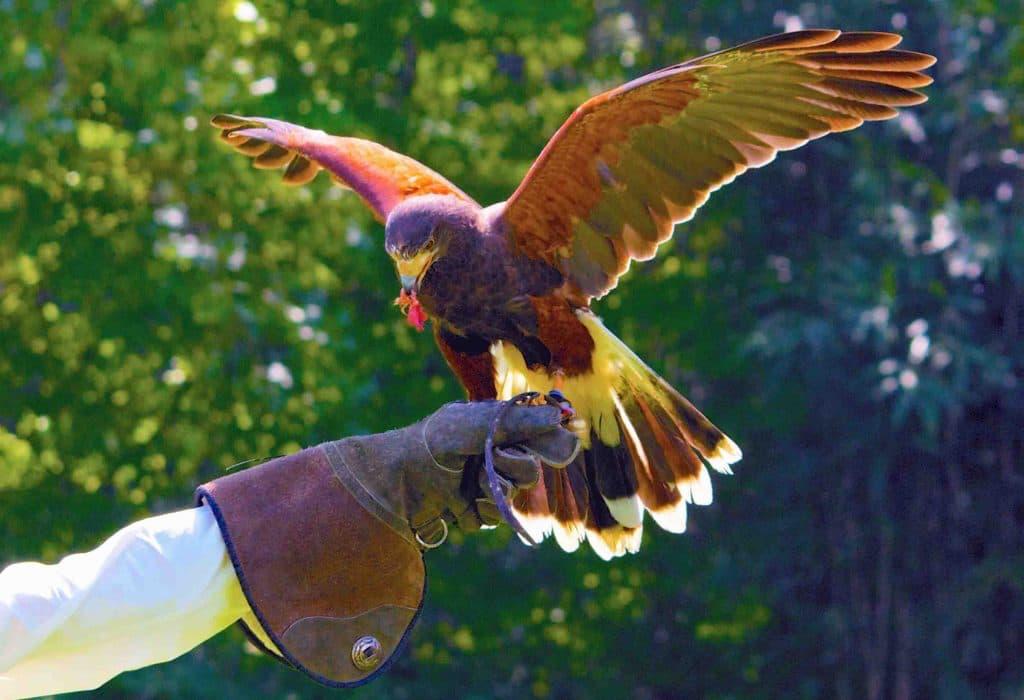 Falconry - Portugal
