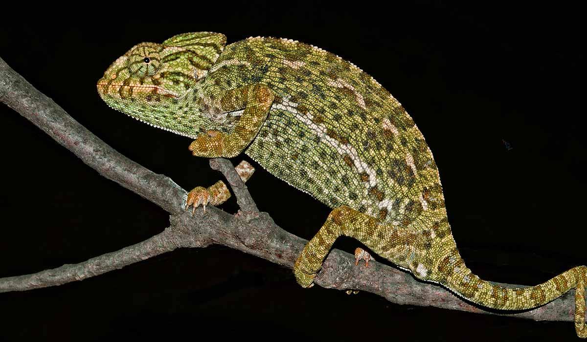 Chameleon - Portugal